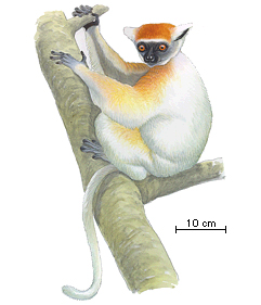 the golden crowned sifaka or tattersall s sifaka Verreaux's sifaka (propithecus verreauxi), or the white sifaka the golden-crowned sifaka or tattersall's sifaka (propithecus tattersalli) is a medium-sized lemur characterized by mostly white fur, prominent furry ears, and a golden-orange crown.