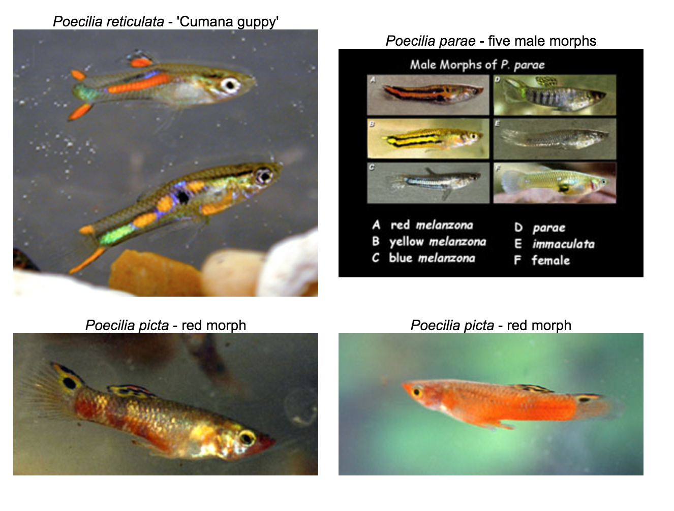 Sexual selection in guppies