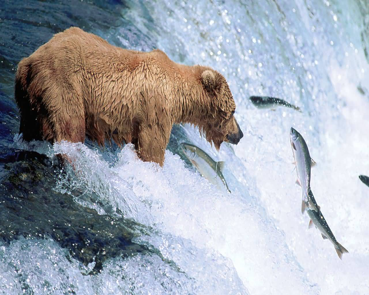 Grizzly bear populations are extremely vulnerable s and have ...