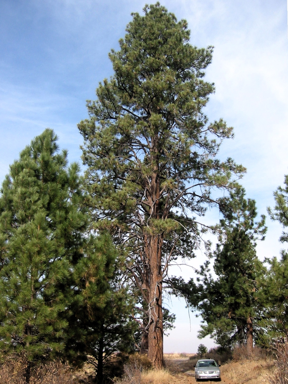 Biogeoclimatic zones of british columbia ponderosa pine for Mature pine trees