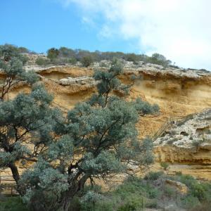 Ngaut Ngaut Devon Downs Archaeology Mannum Aboriginal Community South Australia