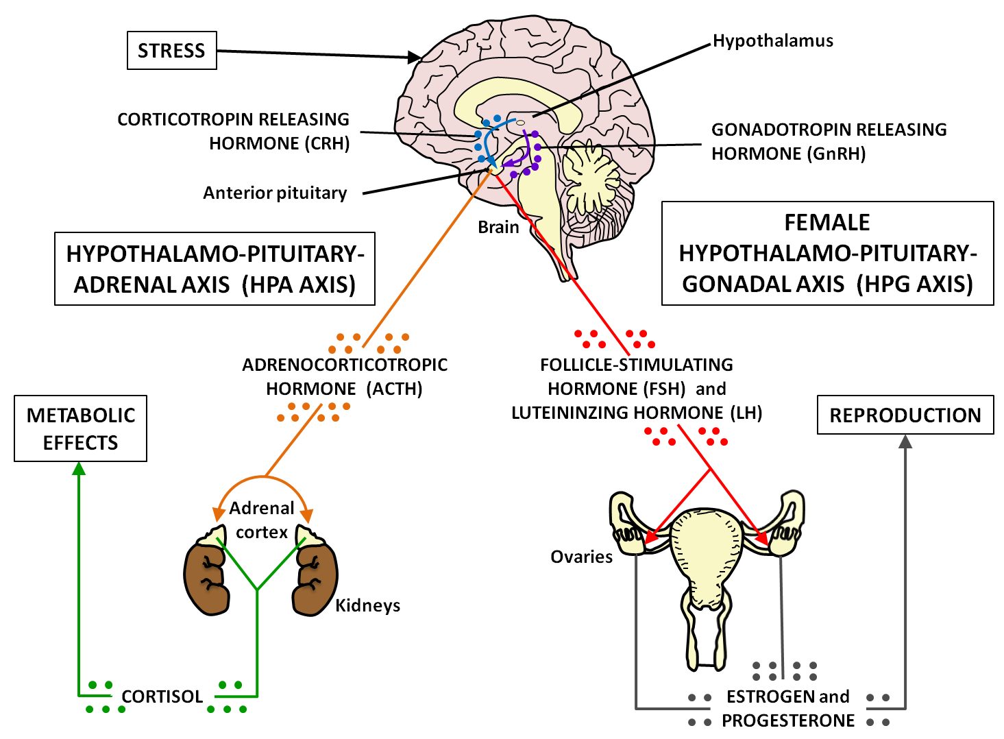 a research on thyroid disease and its effects on the human body As explained in the video, acth has an effect on adrenal gland  take thyroid  hormone its cold out so your body signals the hypothalamus to  neil  gesundheit: well, the topic for today is endocrinology, which is the study of  hormones.