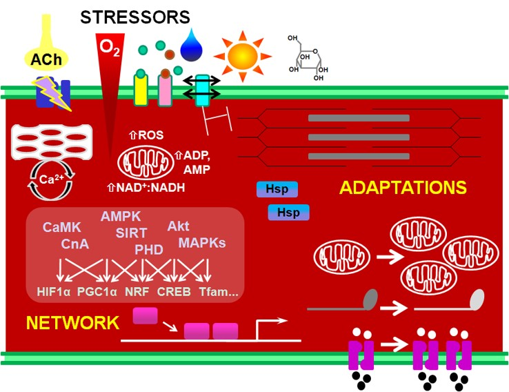 Cellular adaptations to exercise stressors - Laboratory for
