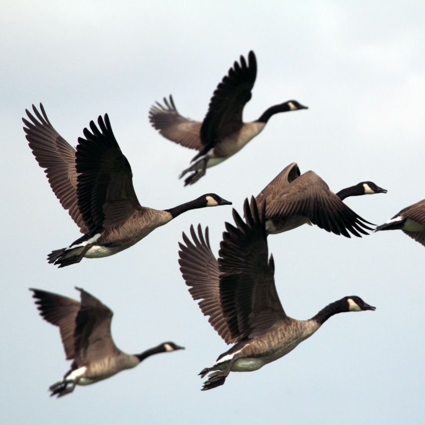Centre for Wildlife Ecology, flying Canada geese