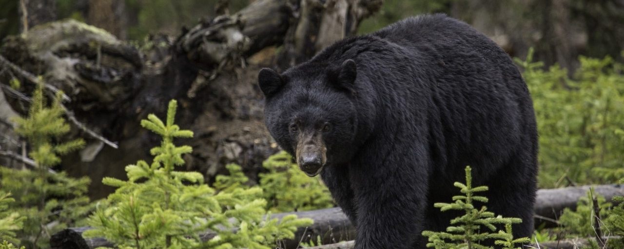 photo of black bear